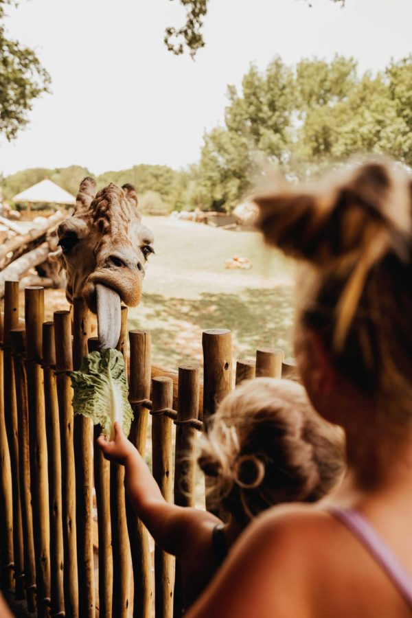 Giraffe with tongue out eating lettuce from girl, Olive Branch Photography Daily Fan Favorite