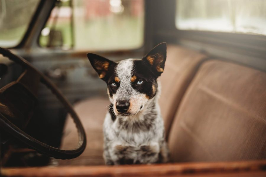 Dog sitting in cart looking out window, Huckleberry Patch Photography Daily Fan Favorite