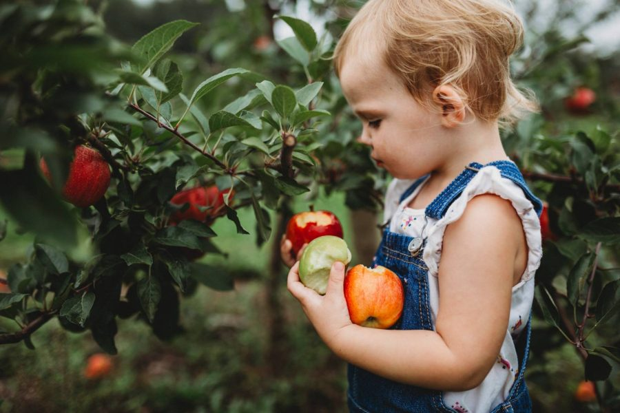 Toddler holding apples with bites taken out in apple orchard, Beyond the Wanderlust Daily Fan Favorite
